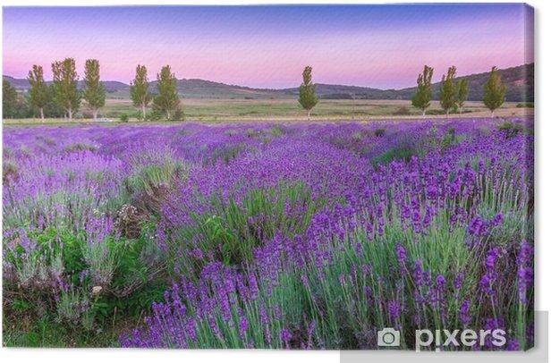 Tableau sur toile Coucher de soleil sur un champ de lavande en été - Herbes