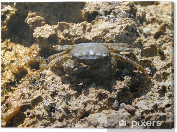 Tableau crabe gris 1 tableaux sur toile crabe gris