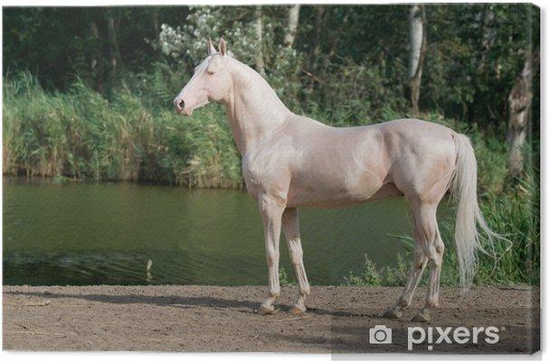 Tableau sur toile Cremello Akhal-Teke cheval étalon portrait - Sports individuels