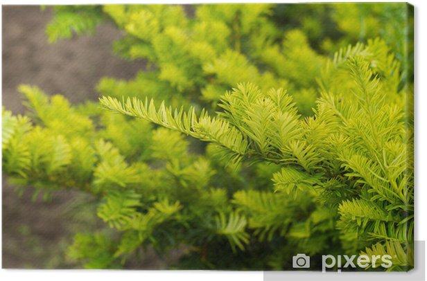 Tableau sur toile Des branches d'arbres de pin - Arbres