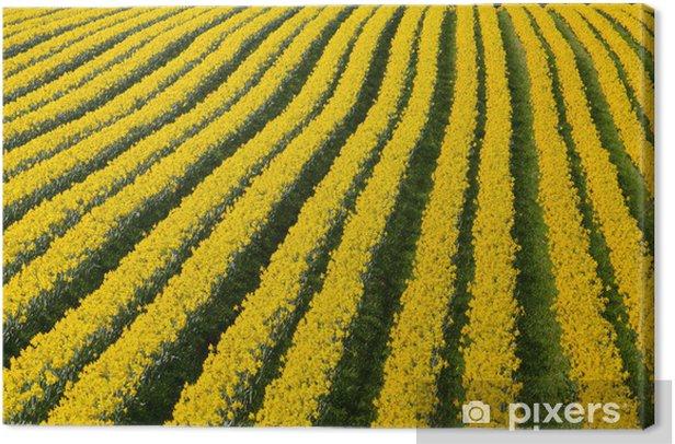 Tableau sur toile Des rangées de floraison des fleurs de jonquilles jaunes dans un champ. - Agriculture
