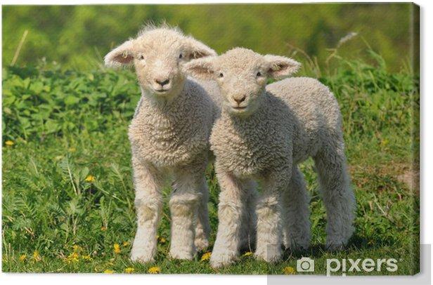 Tableau sur toile Deux agneaux mignons - Agriculture
