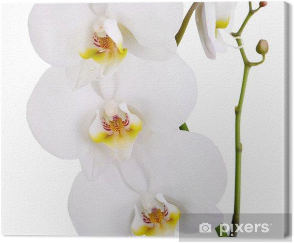 Tableau sur toile Doux belle orchidée isolé sur blanc - Fleurs