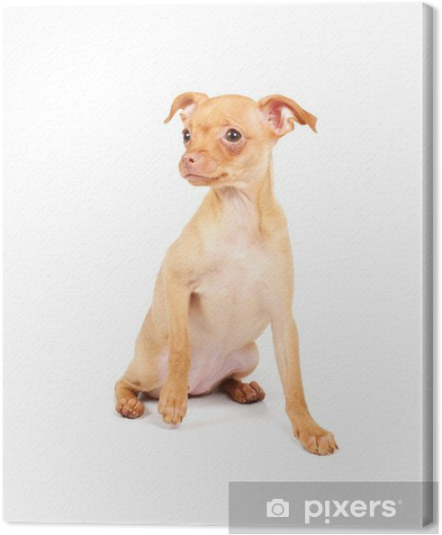 7fc705916e3f4 Tableau sur toile Drôle de chiots Chihuahua pose • Pixers® - Nous ...