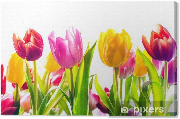 Tableau sur toile Dynamique de fond de tulipes colorées de printemps - Saisons