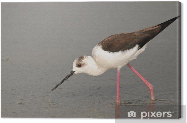 Tableau sur toile Echasse blanche (Himantopus himantopus) - Oiseaux