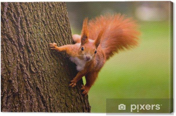 Tableau Sur Toile écureuil Roux Dans Le Milieu Naturel