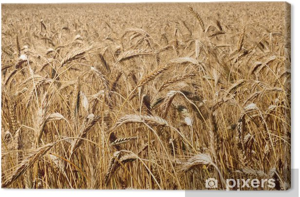 Tableau sur toile Épis mûrs de blé - Agriculture
