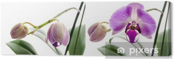 Tableau sur toile Étapes de la fleur d'orchidée de croissance - Fleurs