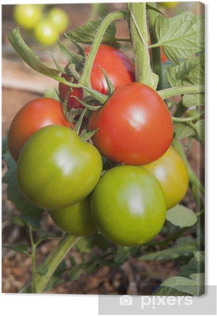 Tableau sur toile Europe, Italie, Sicile, tomates rouges et vertes dans une serre - Thèmes