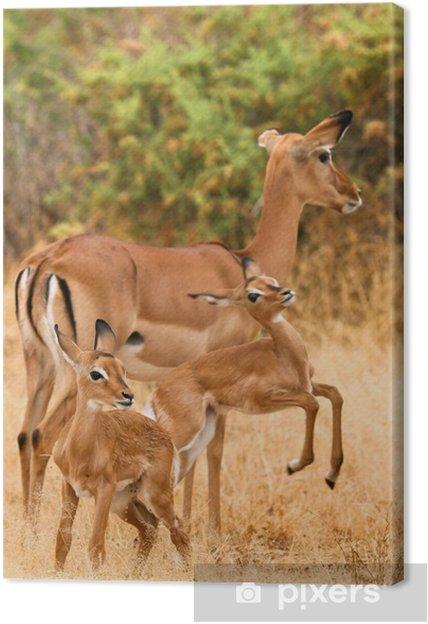 Tableau sur toile Femme impala avec les jeunes impalas, Samburu, au Kenya - Afrique