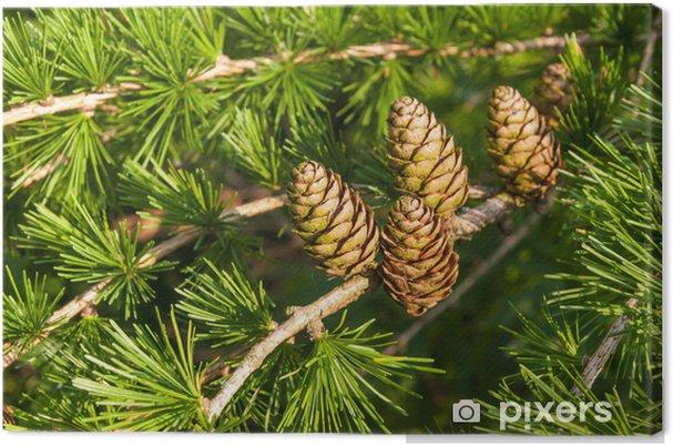 Tableau sur toile Feuillage et des cônes de mélèze d'Europe - Saisons