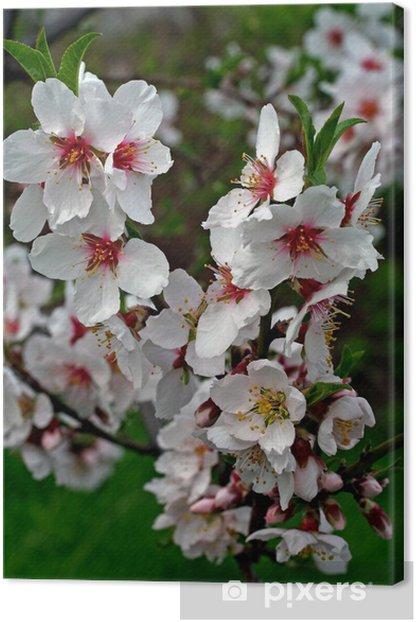 Tableau sur toile Fleur d'amandier branche - Saisons