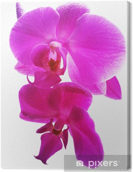 Tableau Sur Toile Fleur D Orchidee Rose Fleur D Orchidee Rose Isole