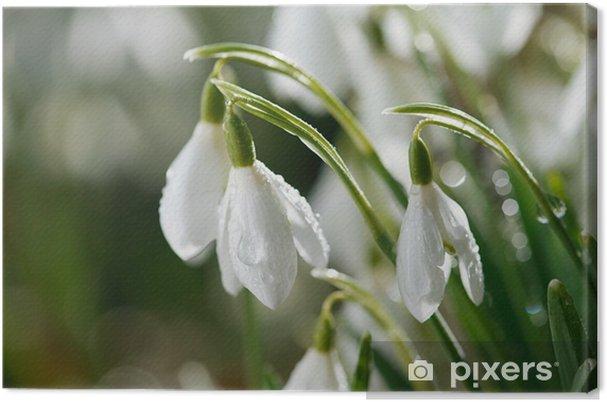 Tableau Sur Toile Fleur Perce Neige Dans La Rosee Du Matin Soft