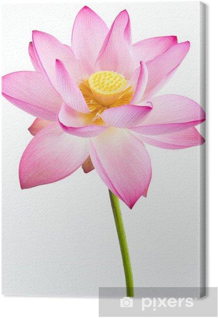 Tableau sur toile Fleur rose de nénuphar (lotus) et le fond blanc. - Fleurs