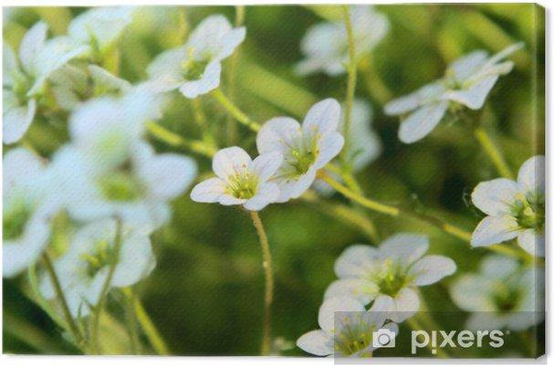 Tableau sur toile Fleurs Saxifrage - Fleurs