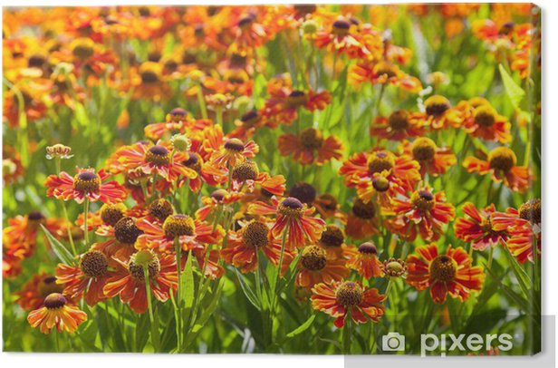 Tableau sur toile Floraison pelouse de gaillardia fleur - Campagne