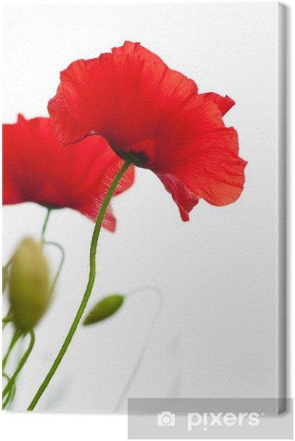 Tableau sur toile Fond - champs de coquelicots isolé sur fond blanc - Fleurs
