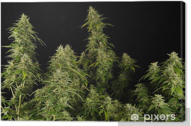 Tableau sur toile Ganja11 - Plantes