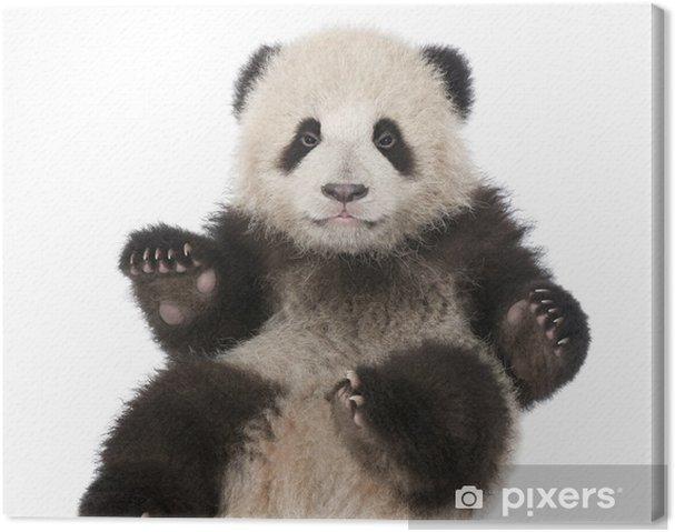 Tableau sur toile Giant Panda (6 mois) - Ailuropoda melanoleuca - Sticker mural