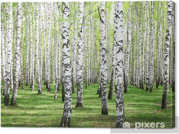 Tableau sur toile Greens premiers de printemps dans le bosquet de bouleaux - Styles