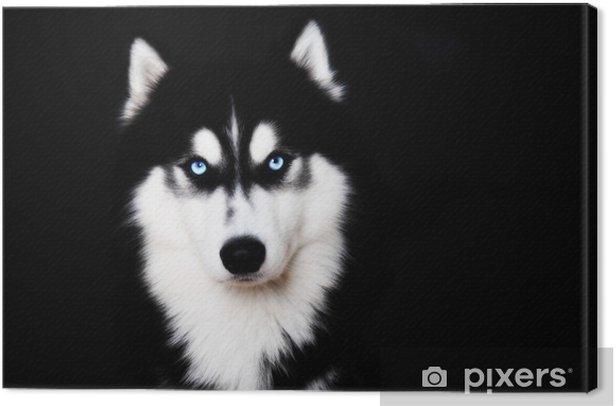 Tableau sur toile Gros plan sur les yeux bleus d'un husky sibérien de chien - Husky