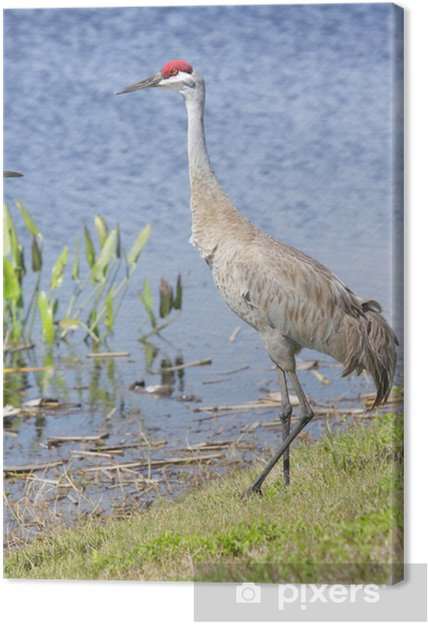 Tableau sur toile Grue du Canada (Grus canadensis) - Oiseaux