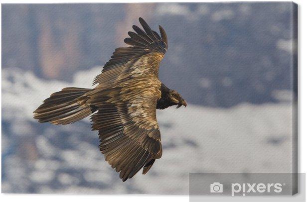 Tableau sur toile Gypaète barbu - Oiseaux