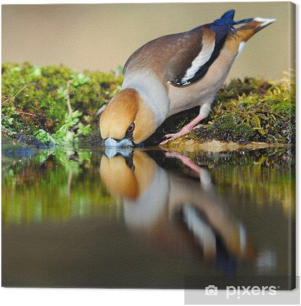 Tableau sur toile Hawfinch reflétant dans l'eau potable - Thèmes
