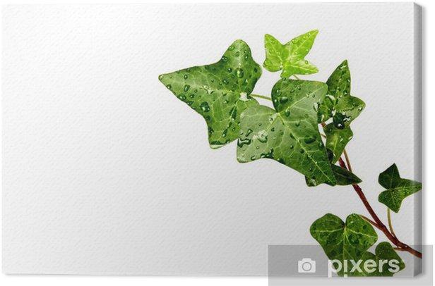 Tableau sur toile Herb lierre dans les gouttes de rosée - Plantes