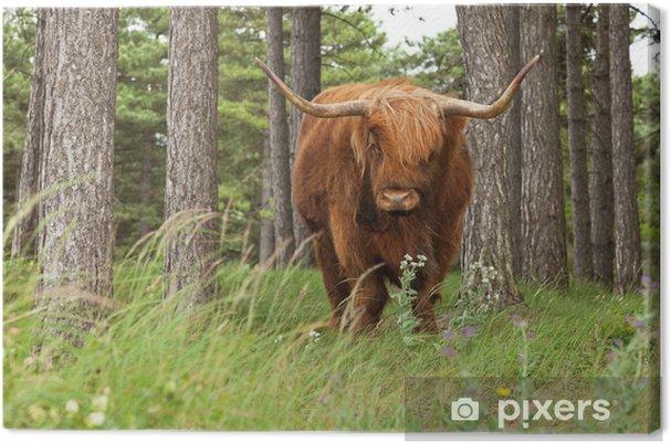 Tableau sur toile Highlander écossais avec de grandes cornes de vache dans la forêt de pins. - Mammifères