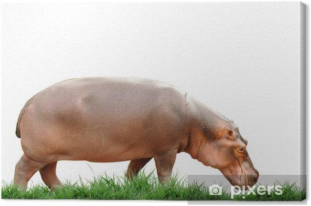 Tableau sur toile Hippopotame isolé - Vie