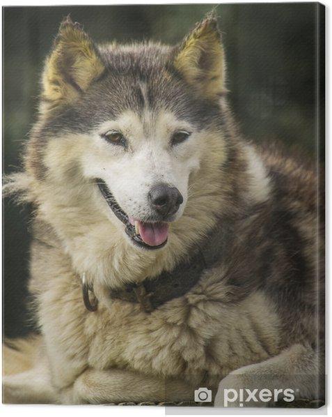 Tableau sur toile Husky chien - Mammifères