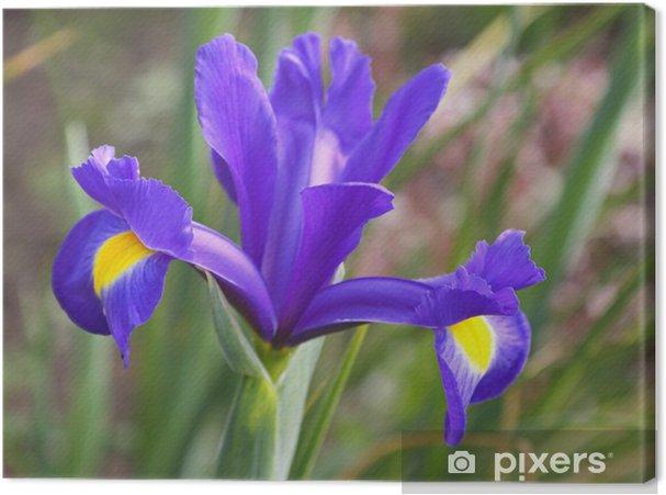 Tableau sur toile Iris fleur de la variété Blue Magic - Fleurs