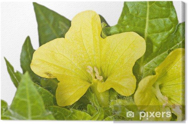 Tableau sur toile Jaune jusquiame, une plante médicinale du Moyen Age • Pixers® - Nous vivons ...