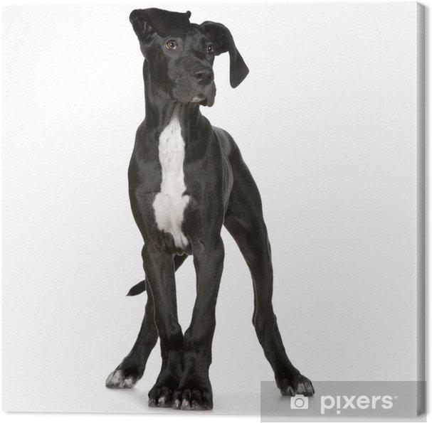 Tableau dogue allemand 3 tableaux sur toile jeune dogue allemand