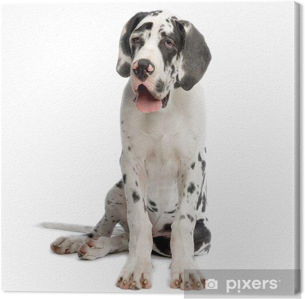 Tableau dogue allemand 1 tableaux sur toile jeune dogue allemand