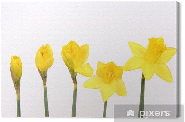 Tableau sur toile Jonquilles à différents stades de la floraison sur fond blanc - Fleurs