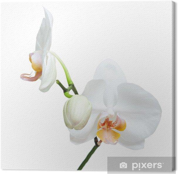 Tableau sur toile Jour Fife vieux orchidée blanche isolé sur fond blanc. - Sticker mural