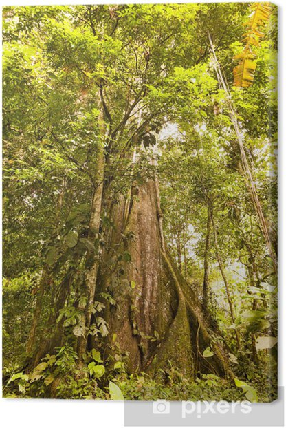 Tableau sur toile Kapokier Tallest des plantes en Amazonie - Forêt