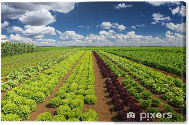 Tableau sur toile L'industrie agricole. Grandir salade de laitue sur le terrain - Plantes
