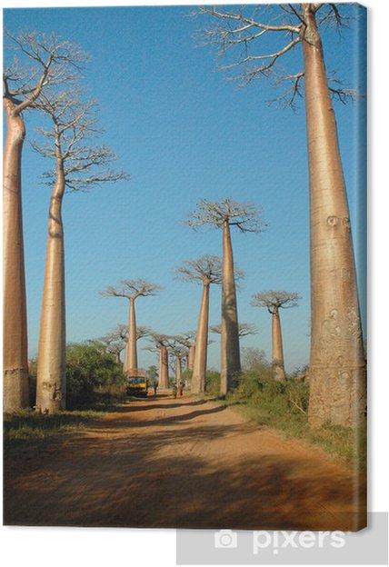 Tableau sur toile L'allée des baobabs - Afrique