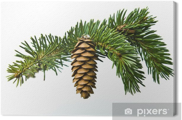 Tableau sur toile La branche de l'épinette et le cône sur fond blanc - Arbres