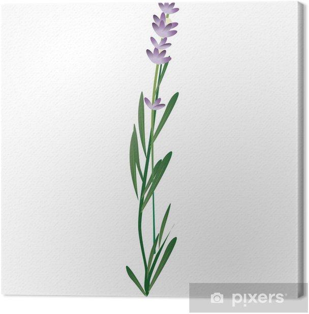 Tableau sur toile Lavanda - Plantes