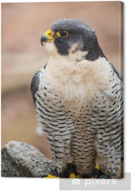 Tableau sur toile Le faucon pèlerin - Oiseaux