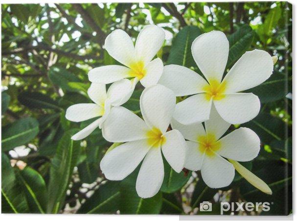 Tableau sur toile Le groupe plumeria Frangipani fleur gros plan sur la feuille verte - Fleurs