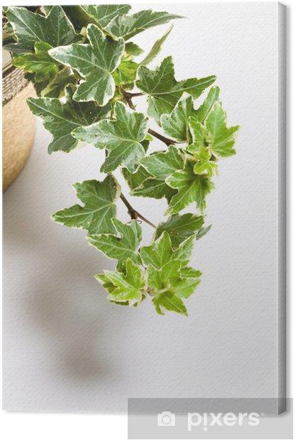 Tableau sur toile Lierre - Plantes