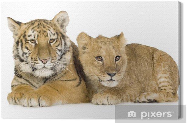 Tableau sur toile Lion Cub (5 mois) et animal de tigre (5 mois) - Mammifères