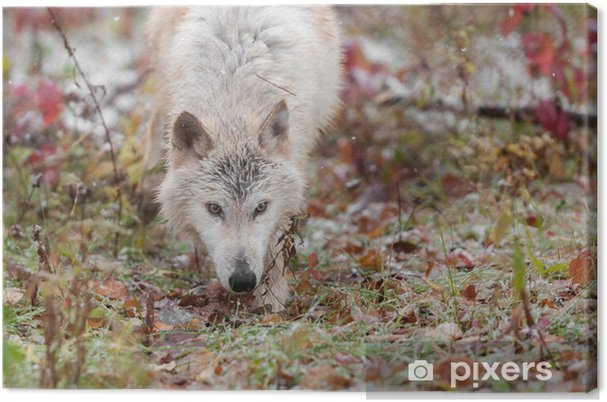 Tableau sur toile Loup Blond (Canis lupus) Tiges avant par les herbes - Saisons